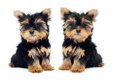 Puppy of the Yorkshire Terrier on the white background Stock Images