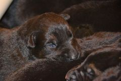Puppy6. Young German Shepherd Dog puppy black and tan color eyes opening with littermates Royalty Free Stock Photography