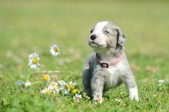 Puppy Royalty Free Stock Photo