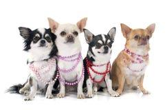 Puppychihuahua Royalty-vrije Stock Afbeeldingen
