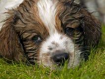 puppydog Royaltyfri Fotografi