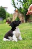Puppyhond Stock Afbeelding