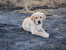 Puppyhond Royalty-vrije Stock Foto
