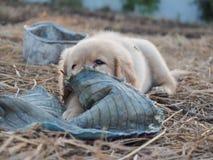 Puppyhond Royalty-vrije Stock Afbeelding