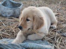 Puppyhond Royalty-vrije Stock Afbeeldingen