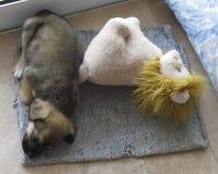Puppyhond Stock Foto