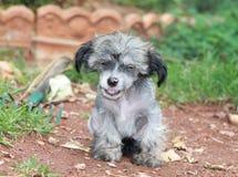 Puppyhond het Glimlachen Stock Fotografie