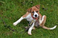 Puppyhond het krassen stock afbeelding