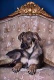 Puppyhond op de laag Royalty-vrije Stock Foto's