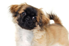 Puppyhond op witte achtergrond Stock Afbeelding