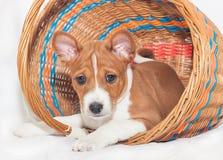 puppyhonden die geen Afrikaanse basenji van het hondras ontschorsen Stock Foto