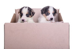 Puppymesties in doos Stock Foto