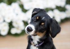 Puppyportret Royalty-vrije Stock Afbeeldingen