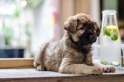 Puppyportret stock afbeelding