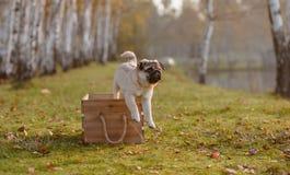 Puppypug die uit een houten doos springen royalty-vrije stock fotografie