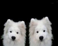 puppys萨莫耶特人 库存图片