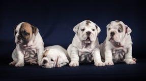 Puppys бульдога на темной предпосылке Стоковое фото RF