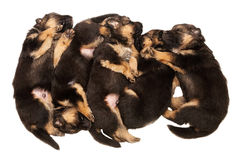 Puppys Foto de Stock