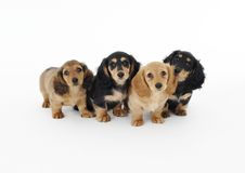 Puppys. They are brothers,four months Stock Photography