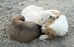 Puppys Fotografia Royalty Free