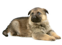 Puppys alemães dos sheep-dogs Fotografia de Stock Royalty Free