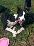 Puppys border collie en jouant Images stock