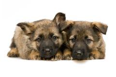 Puppys de los pastores alemanes Foto de archivo