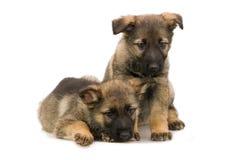 Puppys de los pastores alemanes Imagen de archivo libre de regalías