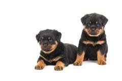 Puppys de Rottweiler Imagens de Stock Royalty Free