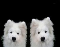 Puppys del Samoyed Immagine Stock