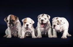 Puppys do buldogue no fundo escuro Fotos de Stock