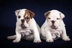 Puppys do buldogue no fundo escuro Imagens de Stock Royalty Free