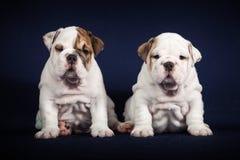 Puppys do buldogue no fundo escuro Imagem de Stock