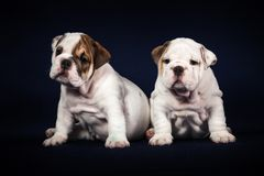 Puppys do buldogue no fundo escuro Foto de Stock Royalty Free