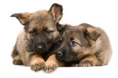 Puppys dos pastores alemães Foto de Stock