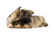 Puppys dos pastores alemães Foto de Stock Royalty Free