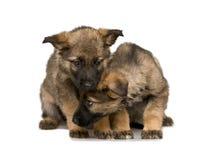 Puppys dos pastores alemães Fotos de Stock Royalty Free