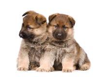 Puppys dos Sheepdogs isolados sobre o fundo branco Fotos de Stock