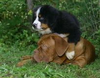Puppys em uma grama. Fotos de Stock