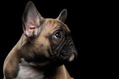 Puppys för fransk bulldogg för Closeup head se upp, profilsikt som isoleras Royaltyfria Foton