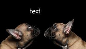 Puppys för fransk bulldogg för Closeup två head se upp, profil som isoleras Arkivbilder