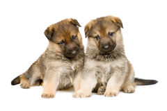 Puppys isolou-se sobre o branco Fotos de Stock Royalty Free
