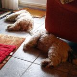 2 puppys. Laying on floor Royalty Free Stock Images