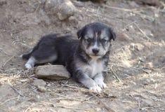 Puppys pequenos Fotos de Stock Royalty Free
