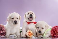 Puppys pequenos labrador retriever Fotografia de Stock
