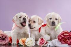 Puppys pequenos labrador retriever Imagens de Stock Royalty Free