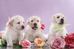Puppys pequenos labrador retriever Imagem de Stock