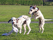 Puppys playing. Two Dalmatian puppies playing together with one on his hind legs and the other with an old rag in his mouth royalty free stock photo