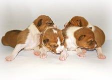 Puppys que dorme na cama Imagem de Stock