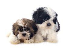 Puppyshitzu stock afbeelding